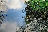 image of sedimentation  - Mangrove forest grow in saline coastal sediment habitats in the tropics - JPG