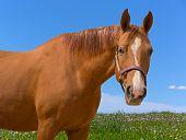 stock photo of sorrel  - Sorrel horse on summer meadow looking at camera - JPG
