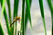 stock photo of dragonflies  - Dragonfly Sympetrum close-up sitting on the grass and looking at the camera