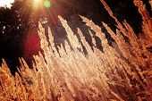stock photo of marsh grass  - dry grass feather background with sun rays that shine through the grass - JPG