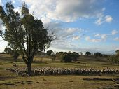 picture of mustering  - a mob of australian mernios being mustered - JPG