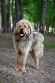 pic of tibetan  - Adult Tibetan Mastiff Stands Outdorrs in Park - JPG