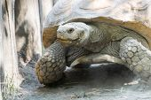 pic of spurs  - A giant African spurred tortoise  - JPG