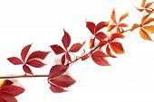 image of grape leaf  - Branch of autumn multicolor grapes leaves - JPG