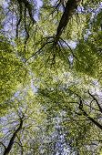 stock photo of canopy  - A background image of a forest treetop canopy from a perspective of looking upwards - JPG
