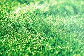 picture of early morning  - Morning dew on grass early in morning - JPG