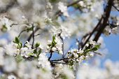 picture of orchard  - blossoming cherry orchard in sunny spring day - JPG