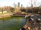 stock photo of dock a pond  - Ducks by a city pond in London - JPG