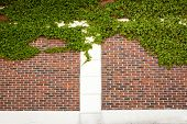 pic of ivy  - A blank brick and ivy wall perfect for backgrounds and messages - JPG