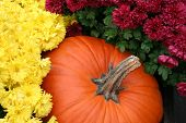 picture of fall decorations  - an arrangement of chrysanthemums and a pumpkin produces a festive autumn display - JPG