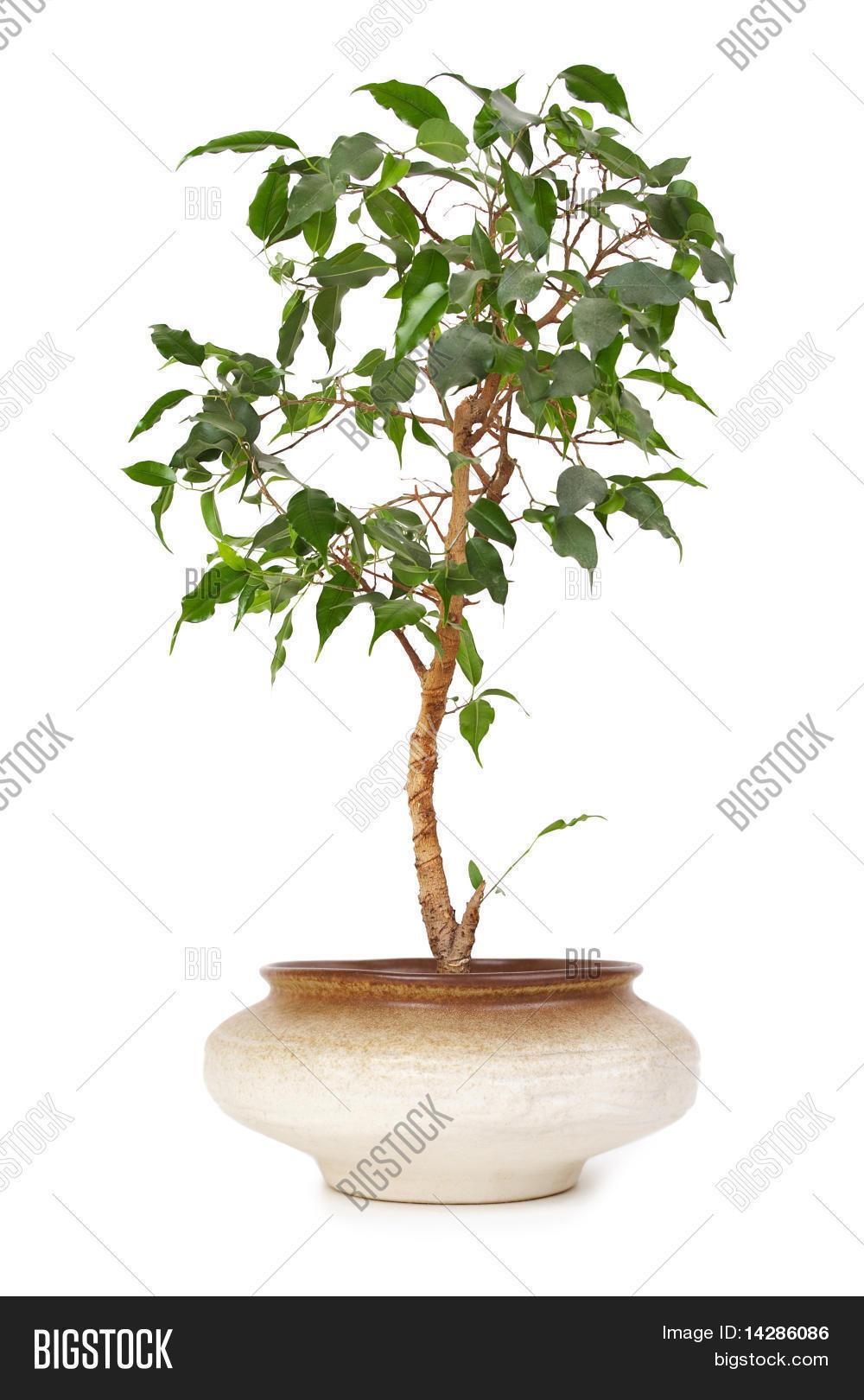 Planta de interior ficus benjamina en maceta de arcilla - Ficus benjamina precio ...
