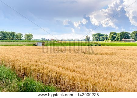 Colorful landscape in the Netherlands at the edge of a small village with a green grass verge and a yellow cornfield in the foreground. It has just rained and a few drops of water are on the grass.