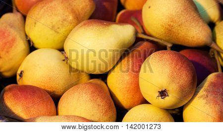 Seasonal decorative autumn colorful pears. Harvest background.