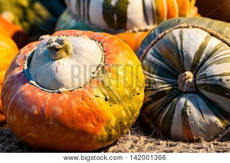 Seasonal decorative autumn colorful pumpkins. Aunumn harvest.