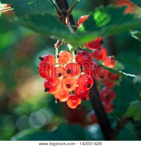 Berries of red currant in the garden.