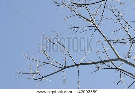 Tree branches blue sky beautiful sunshine in the morning.