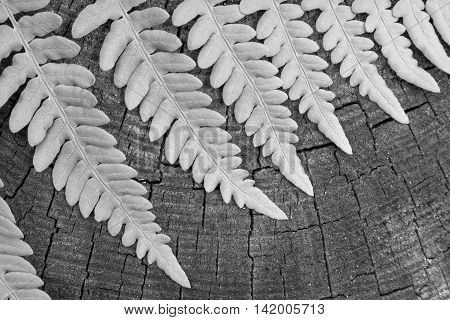 the isolated leaf of a fern on an old wooden stump closeup and a blank space of monochrome gray tone
