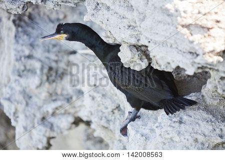 Black cormorant bird on a white rock