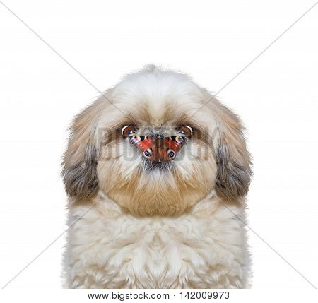 Dog looks at butterfly at his nose -- isolated on white