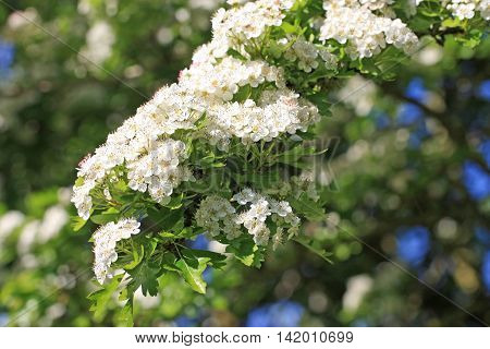 Hawthorn flowers on a tree in spring