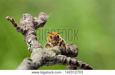En Face Of Honey Bee
