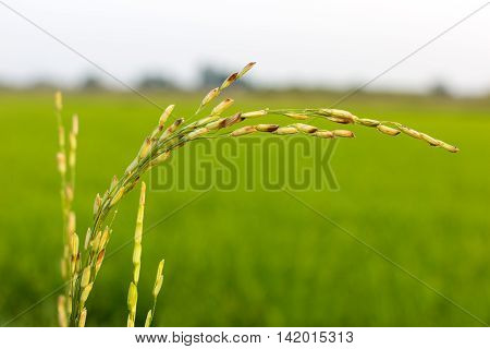 disease threat to organic rice crop, agriculture