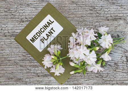 Medicinal plant Saponaria officinalis also known as common soapwort bouncing-bet crow soap wild sweet William soapweed. and herbalist handbook. Used in herbal medicine food and chemical industry