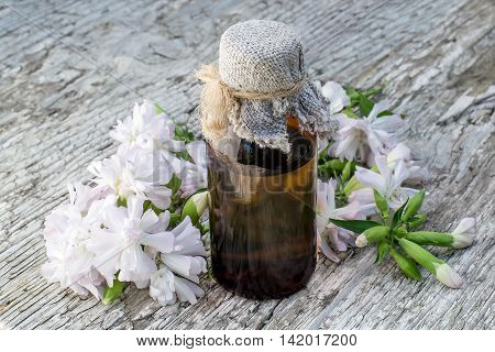 Medicinal plant Saponaria officinalis (common soapwort bouncing-bet crow soap wild sweet William soapweed) and pharmaceutical bottle. Used in herbal medicine food and chemical industry