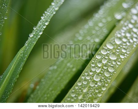 Raindrops on green grass leaves on a rainy morning in Ireland