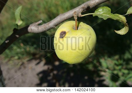 Green apple 'Semerenko' with a brown spot wormhole on a tree branch.