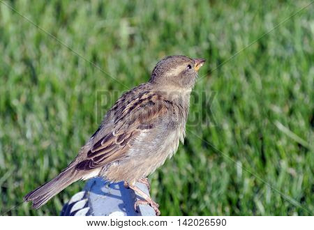 Sparrow sitting on background of bright green grass