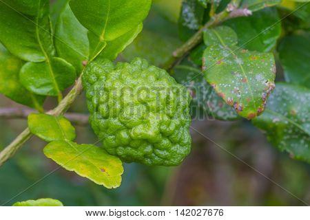Leech Lime Or Bergamot Fruits On Tree