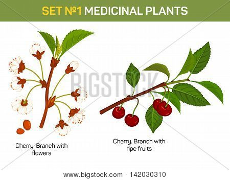 Medicinal or medical plant - branch of cherry blossom. Healing fruit with flowers and stem with leaves, remedial foliage flora. Can be used for medicine book or schoolbook, botany illustration