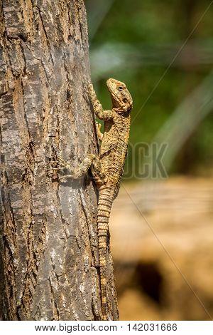 Stellagama stellio - genus desert lizards in the family Agamidae fauna of Israel