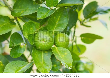 Lime tree with fruits closeup Green lemon on tree