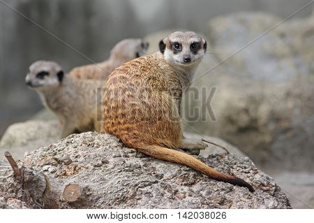 Young curious meerkat looks at the camera. Warsaw Zoo.