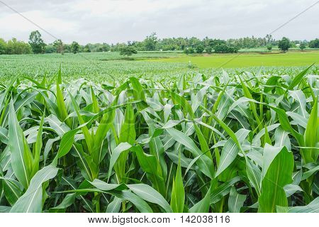 landscaped of Green corn field in agricultural garden