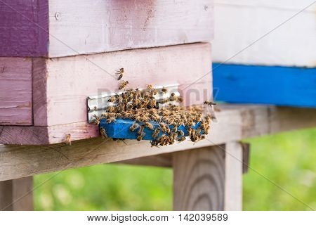 Honey bees swarming and flying around their beehive