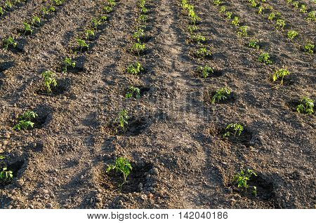 Potato field, young seedlings, in early spring
