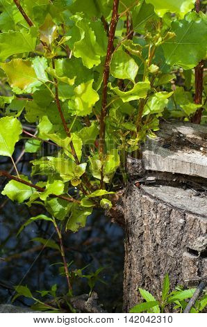 Nature holiday ecology cut down the tree and man sprouted shoots, leaves, life finds a way