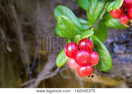 bunches of wild red berries of cowberry on branches with green foliage closeup on an indistinct background