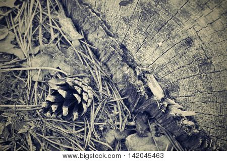 the old pine cone and needles are located on a stump a closeup and a blank space of tone sepia