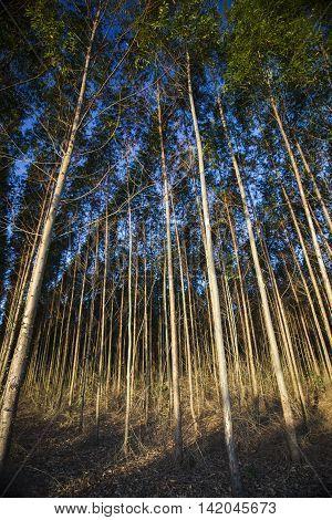 Pine Forest Under Deep Blue Sky.