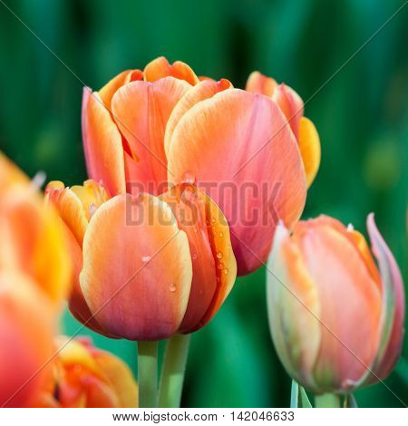 Red tulip flowers. Spring background. Shallow depth of field. Soft focus.