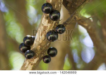 Tree Full Of Jabuticabas.
