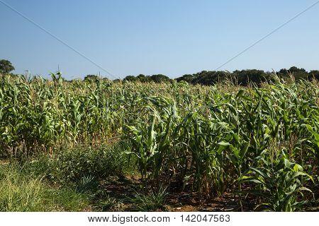 Cornfield In A Sunny Day In Brazil