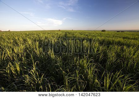 Sugarcane, Cana De  Canavial, Cana