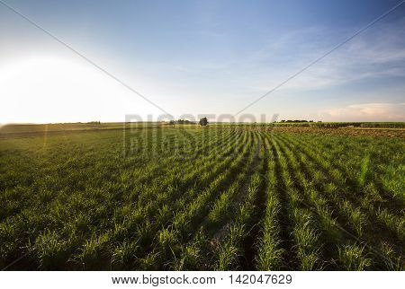 Sugarcane Field At Sunset. Agriculture Field At Sunset.