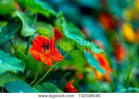Beautiful Nasturtium Flowers Blooming