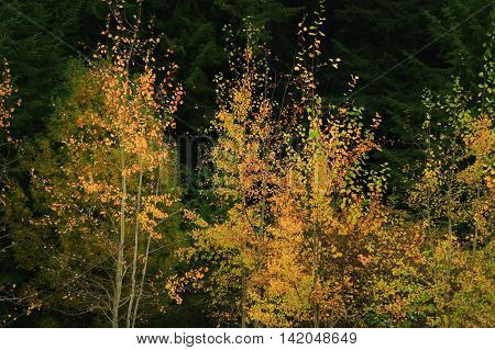 a picture of an exterior Pacific Northwest forest with Quaking aspens trees in fall